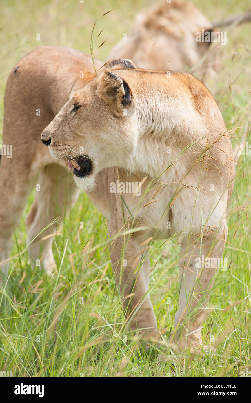 lion the king in the savanna of africa - Stock Image