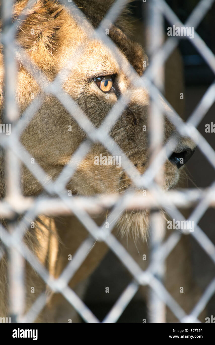 eye of the tiger in cage look fierce - Stock Image