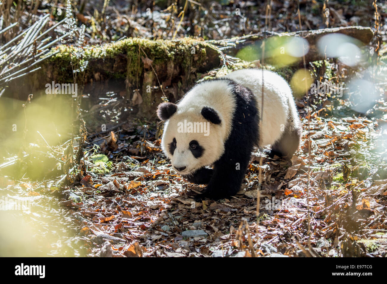 A captive born panda walks through the the Deng Sheng forest in Sichuan China. In the wild, the giant panda is a - Stock Image