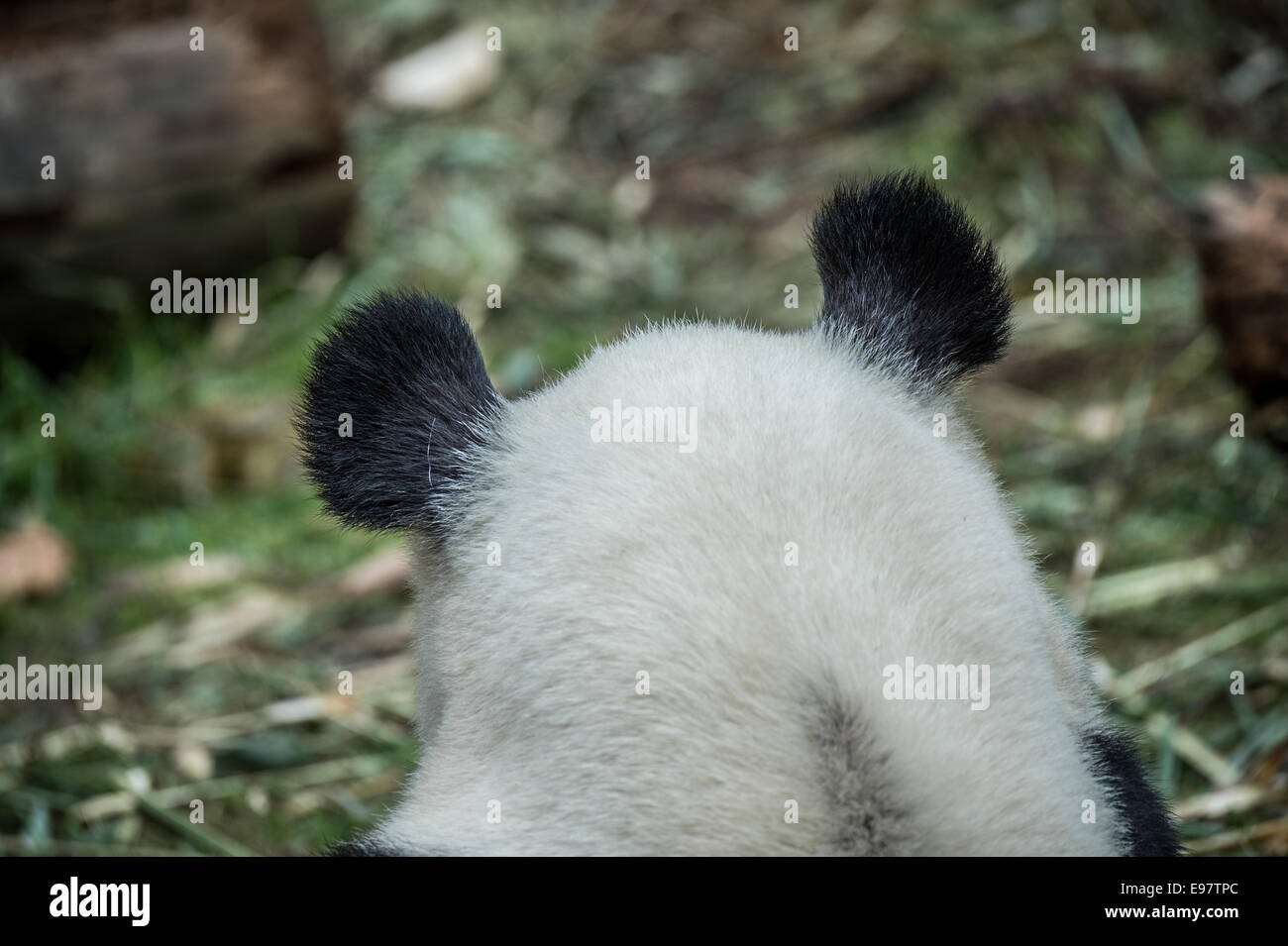 A 14 year old panda named YeYe at the Wolong Giant Panda reserve. The mother is captive born and her baby is being - Stock Image