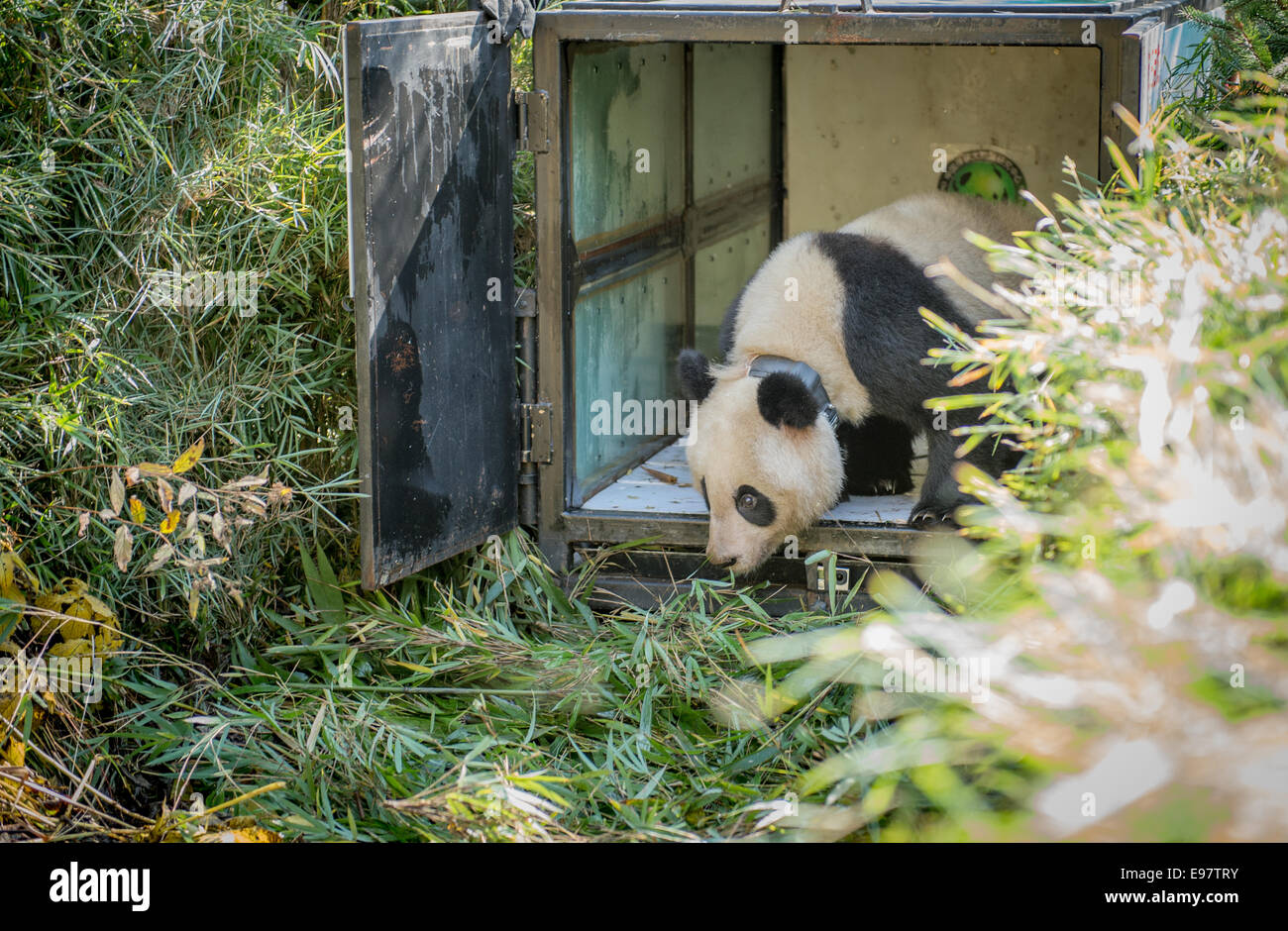 China released two-year old, captive born Giant panda named Zhang Xiang – a name which aptly means hope – into the - Stock Image