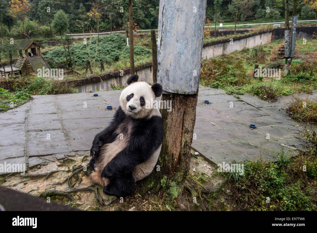 An adult captive panda in Ya'an, Sichuan, China. (Photo by Ami Vitale) - Stock Image