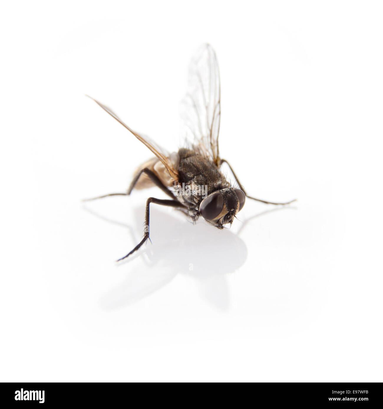 fly (diptera) Stock Photo