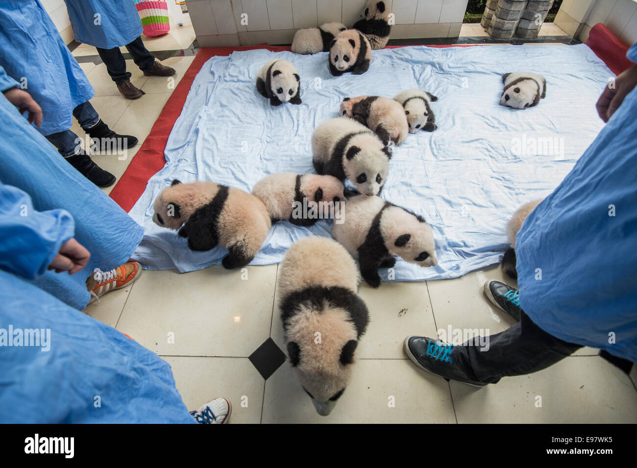 Fourteen baby captive bred pandas are brought out and puton a blanket at the panda breeding center of Bifengxia - Stock Image