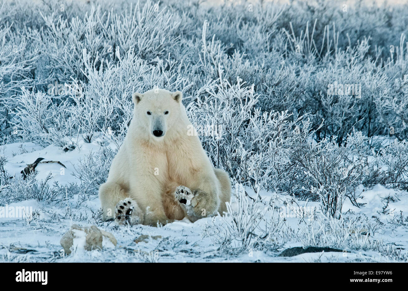 Polar Bear, Ursus maritimus, sitting among wiilows in the frost, near Hudson Bay, Cape Churchill, Manitoba, Canada - Stock Image