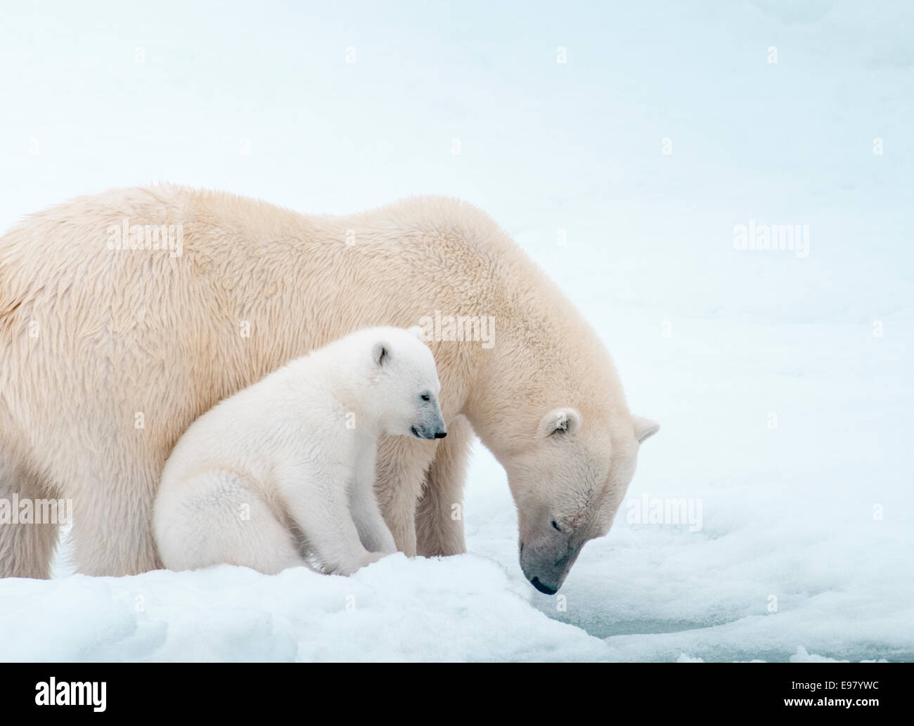 Polar Bear Mother with Cub close beside her, Ursus maritimus, Olgastretet Pack Ice, Spitsbergen, Svalbard Archipelago, Stock Photo