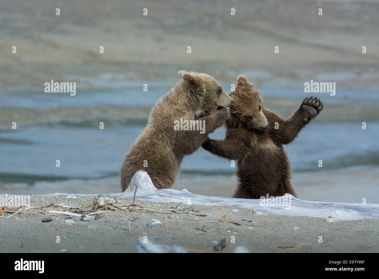Two Grizzly Bear Spring Cubs, Ursus arctos, playing, with the appearance of whispering a secret, Cook Inlet, Alaska, - Stock Image