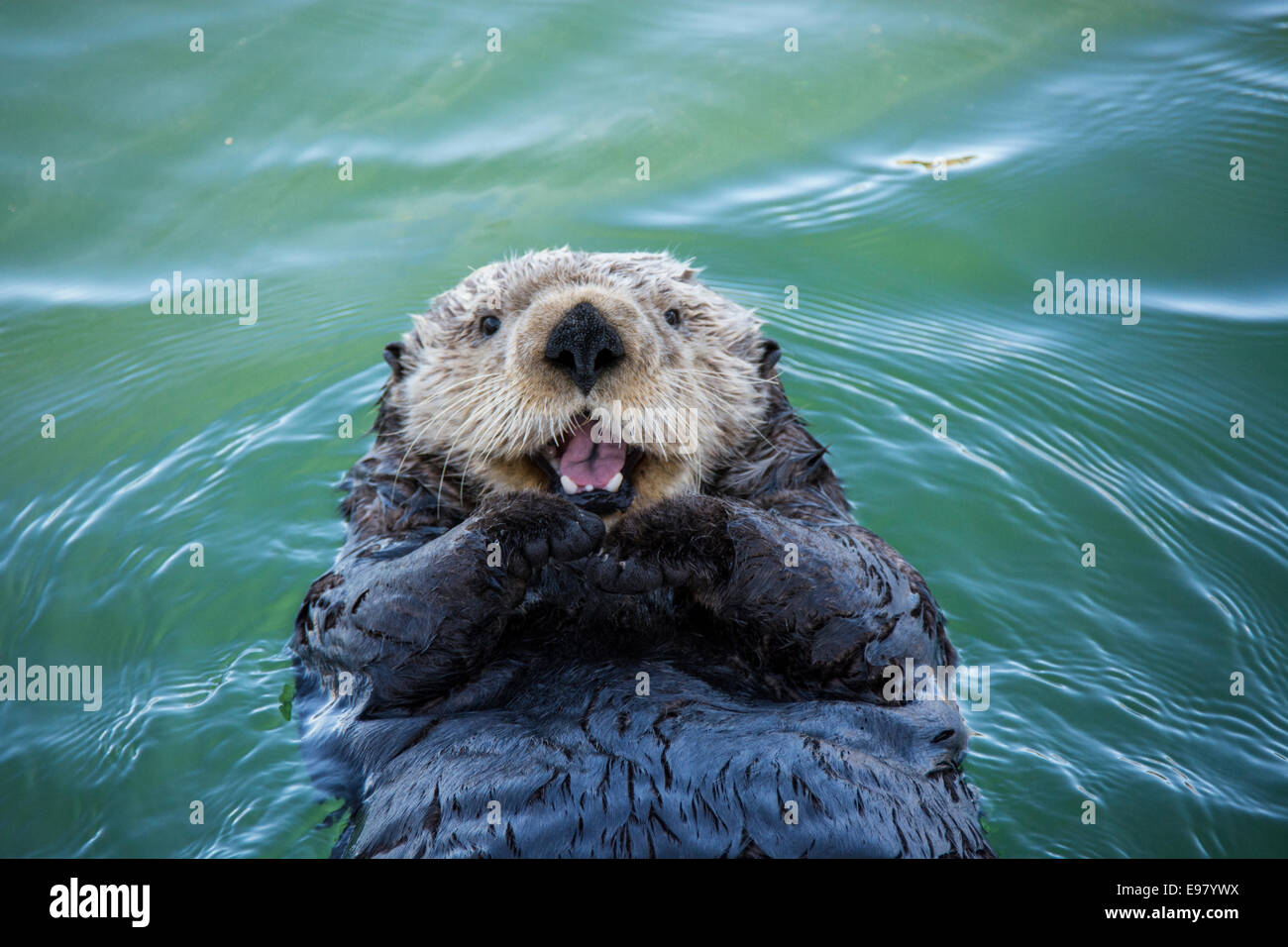 Cute Sea Otter, Enhydra lutris, lying back in the water and appearing to smile or laugh, Seldovia Harbor, Alaska, Stock Photo