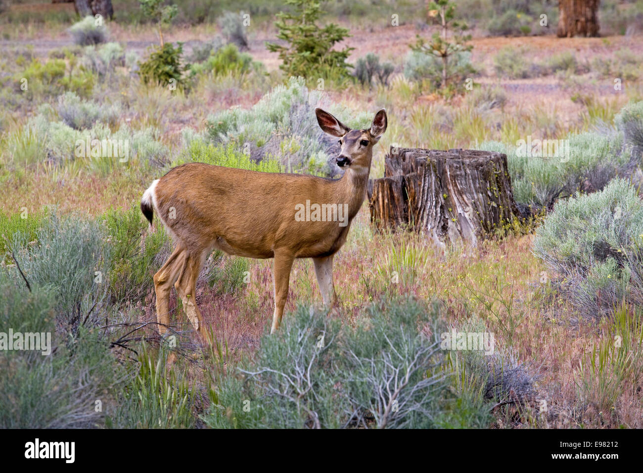 A young mule deer doe in a residential area near Bend, Oregon - Stock Image