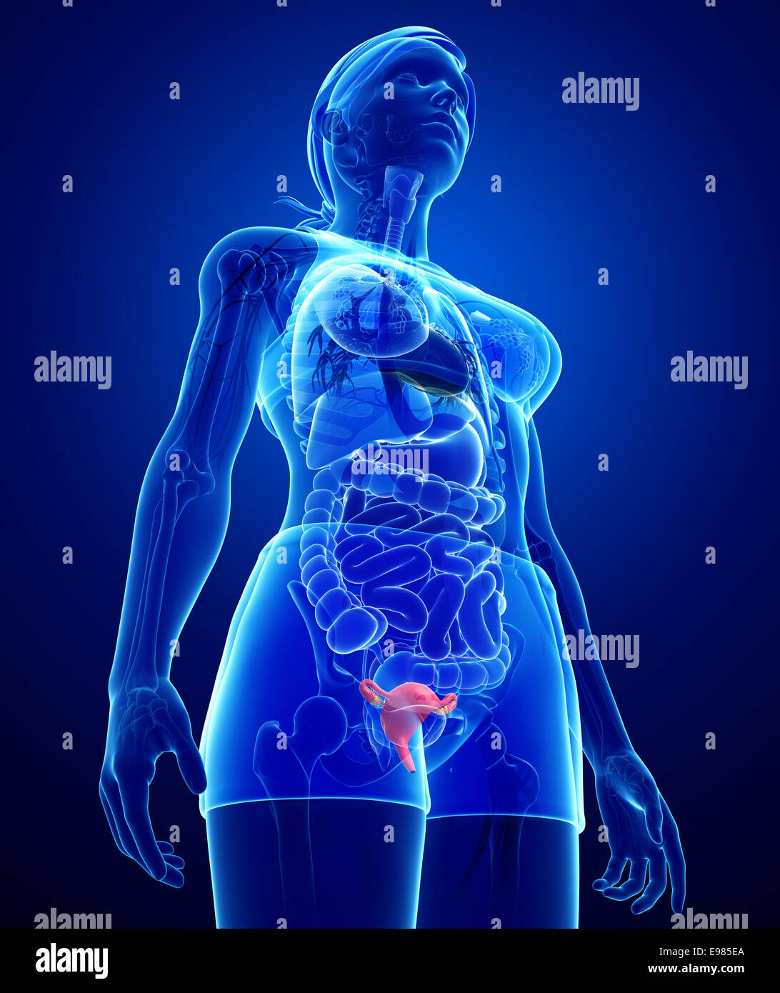 Illustration Of Female Uterus Anatomy Stock Photo 74553314 Alamy