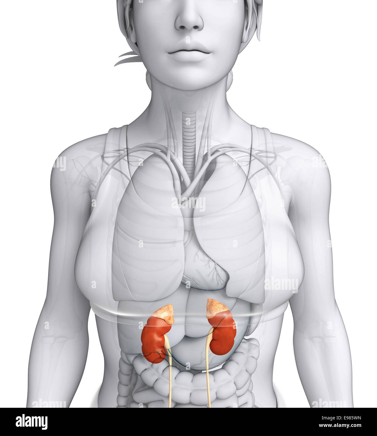 Illustration Of Female Urinary System Stock Photo 74553633 Alamy