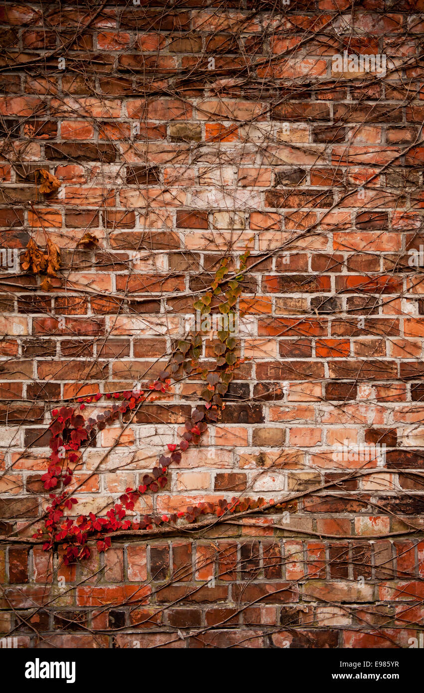 Red ivy hedge creeper on wall - Stock Image