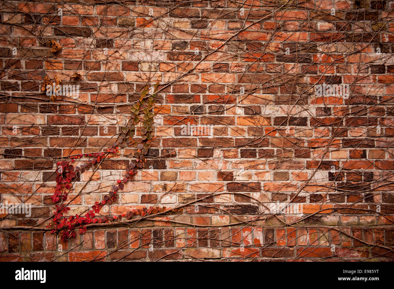 Red ivy hedge climber on wall - Stock Image