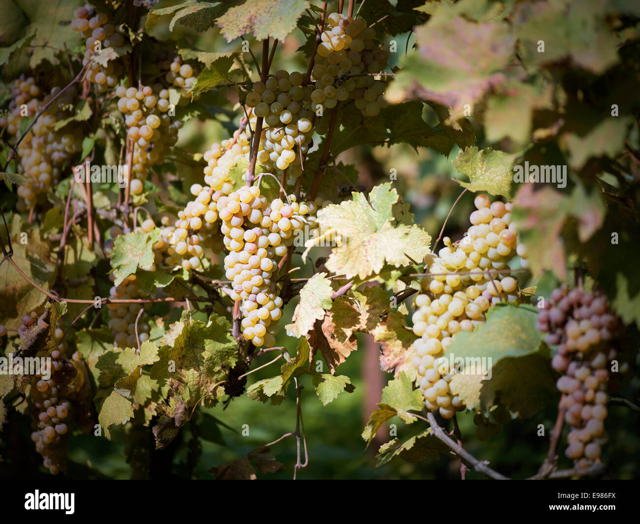 grapes in the vineyard of winemaker. vineyard in autumn - Stock Image