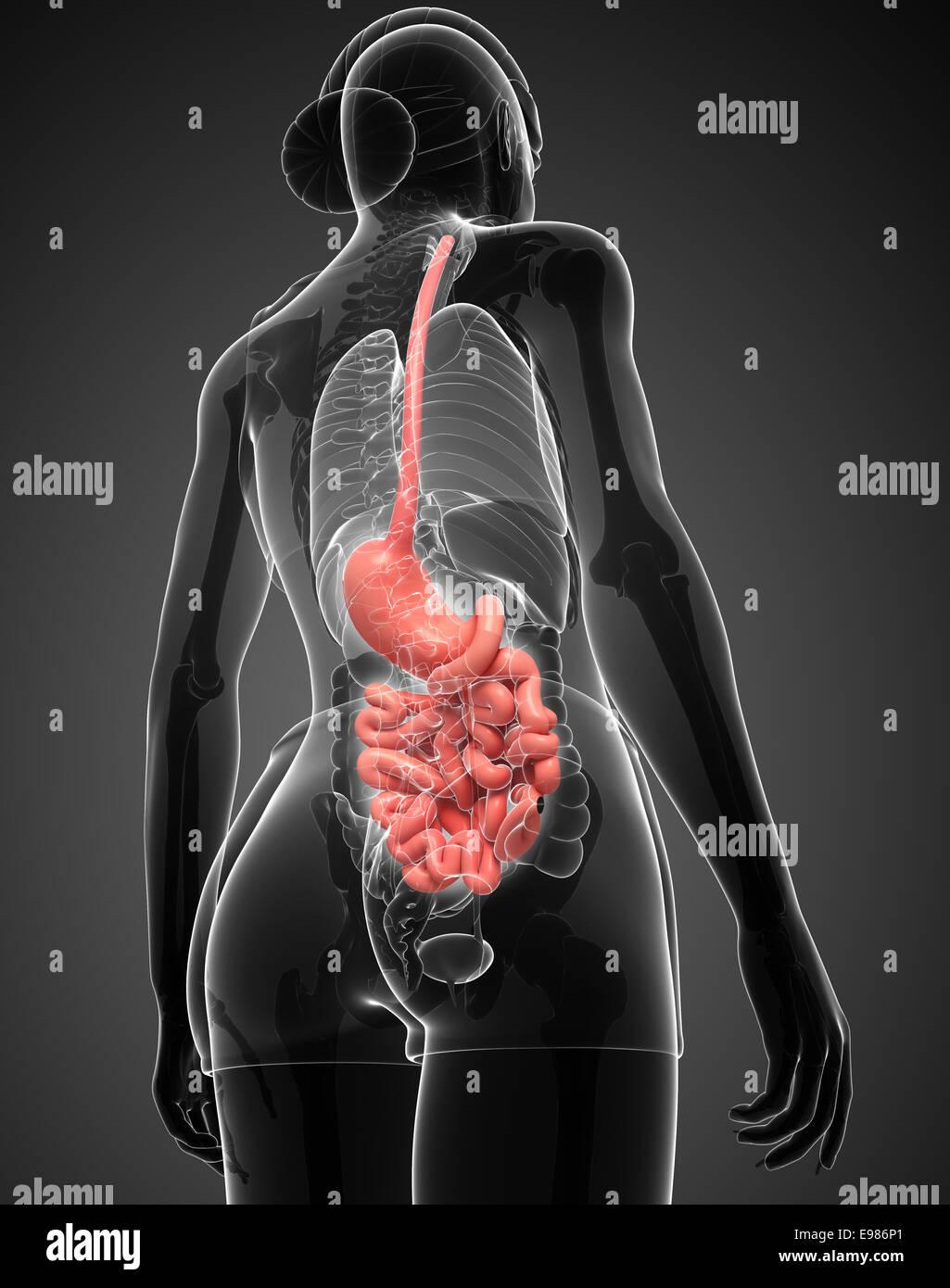 Illustration of Female large intestine anatomy Stock Photo: 74554313 ...