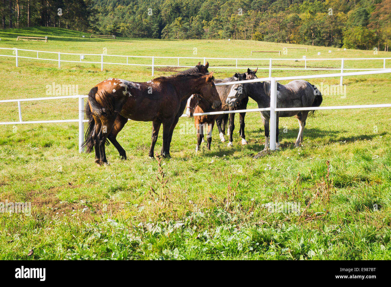 The Appaloosa Two Horses At Left A Horse Breed Best Known For Its Stock Photo Alamy