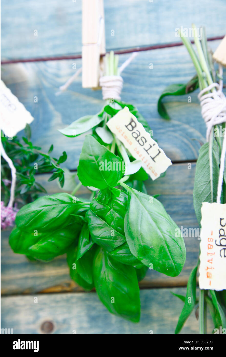 Hanging labeled fresh green Basil in front of a wooden blue background - Stock Image