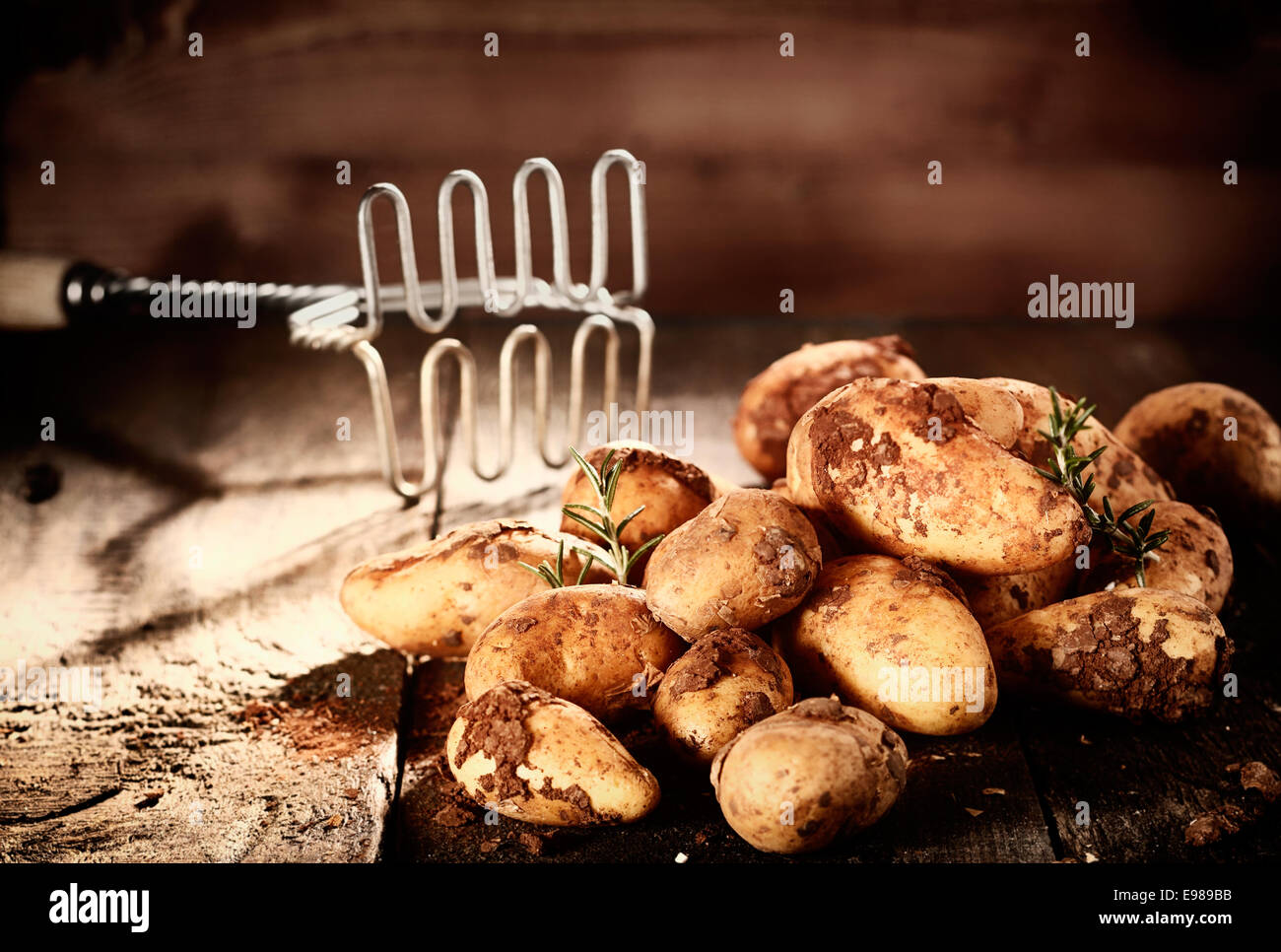 Pile of fresh earthy potatoes with clinging soil and sprigs of rosemary alongside an old retro potato masher - Stock Image