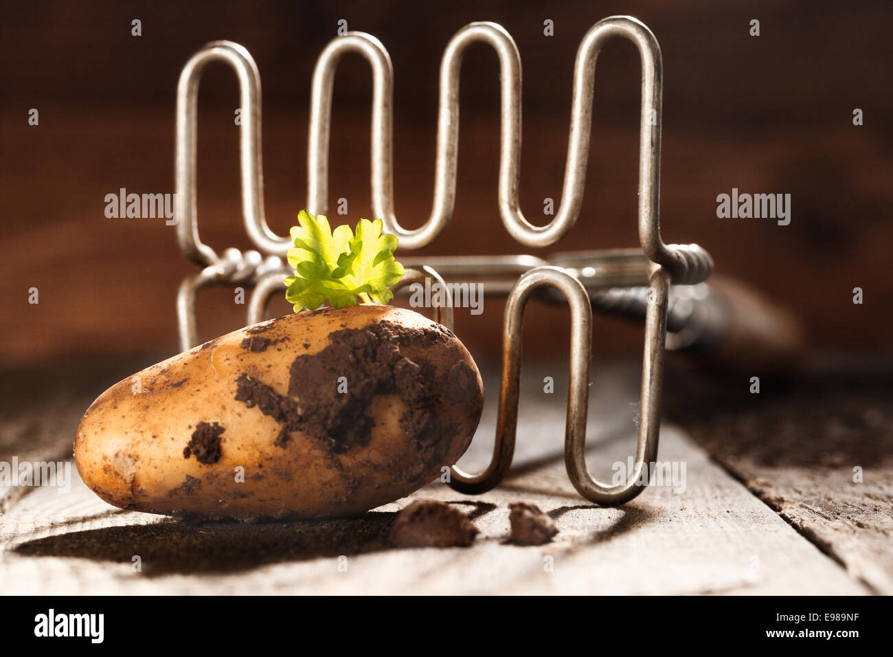 Closeup of a freshly harvested earthy farm potato and an old retro potato masher on a board - Stock Image
