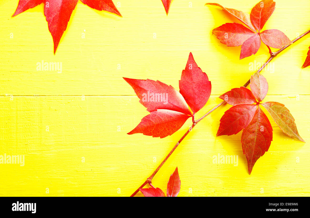 Trailing red virgina creeper showing off its autumn or fall colours against a bright yellow background with copyspace - Stock Image