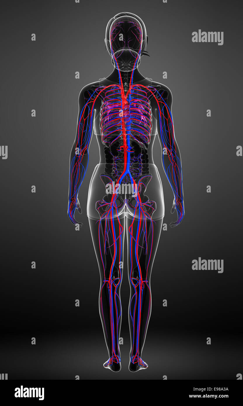 female circulatory system stock photos female circulatory system