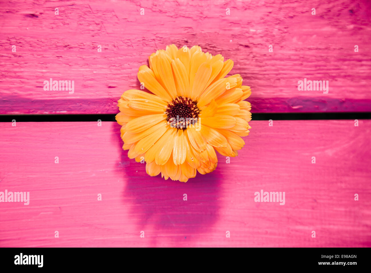 Yellow gerbera flower, symbol of delicacy and distinction, on a wooden table, painted in pink - Stock Image
