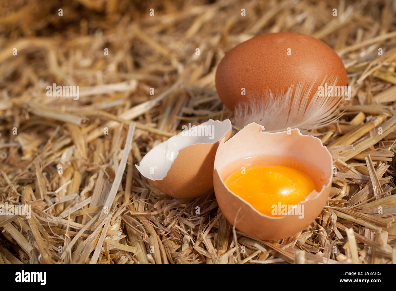 Colourful yellow yolk in a broken eggshell with a whole egg and feather nestling on a bed of clean straw with copyspace Stock Photo