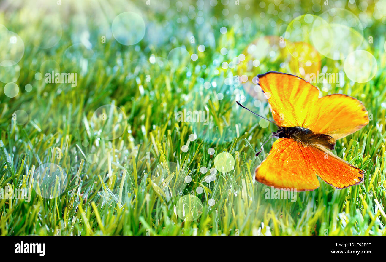 Pretty orange butterfly with its wings open on green grass sparkling with moisture and sun flare bokeh - Stock Image