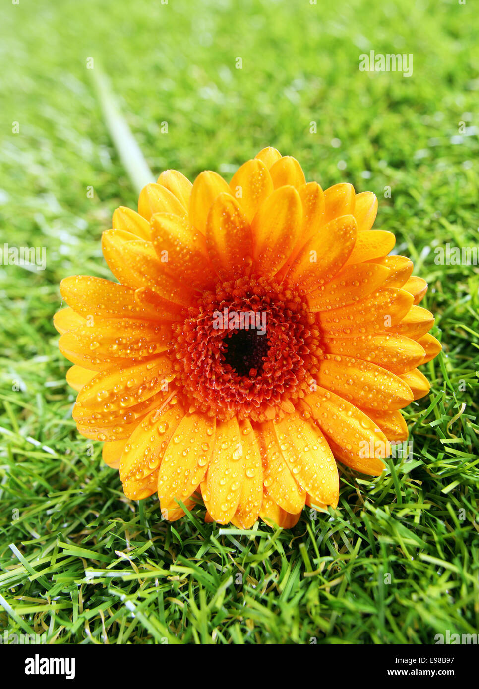 Vibrant yellow gerbera diasy with raindrops of dewdrops glistening on the petals lying on a green summer lawn, closeup - Stock Image