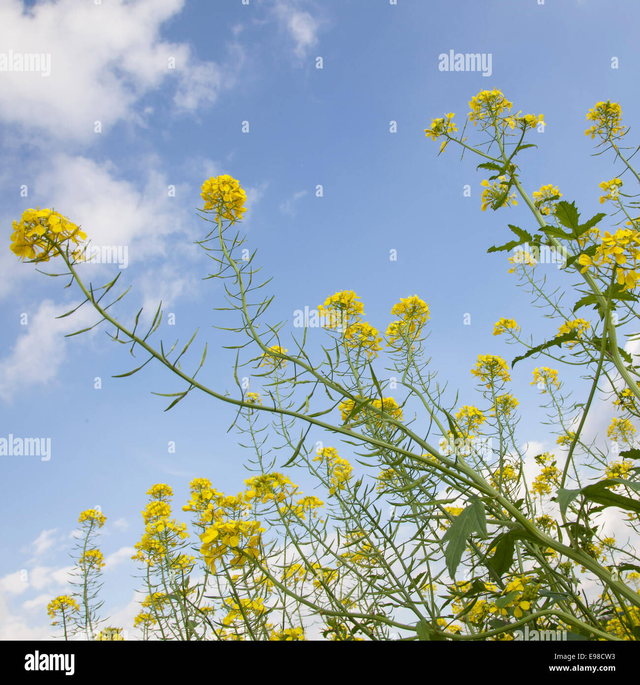 Mustard Seed Stock Photos & Mustard Seed Stock Images - Alamy