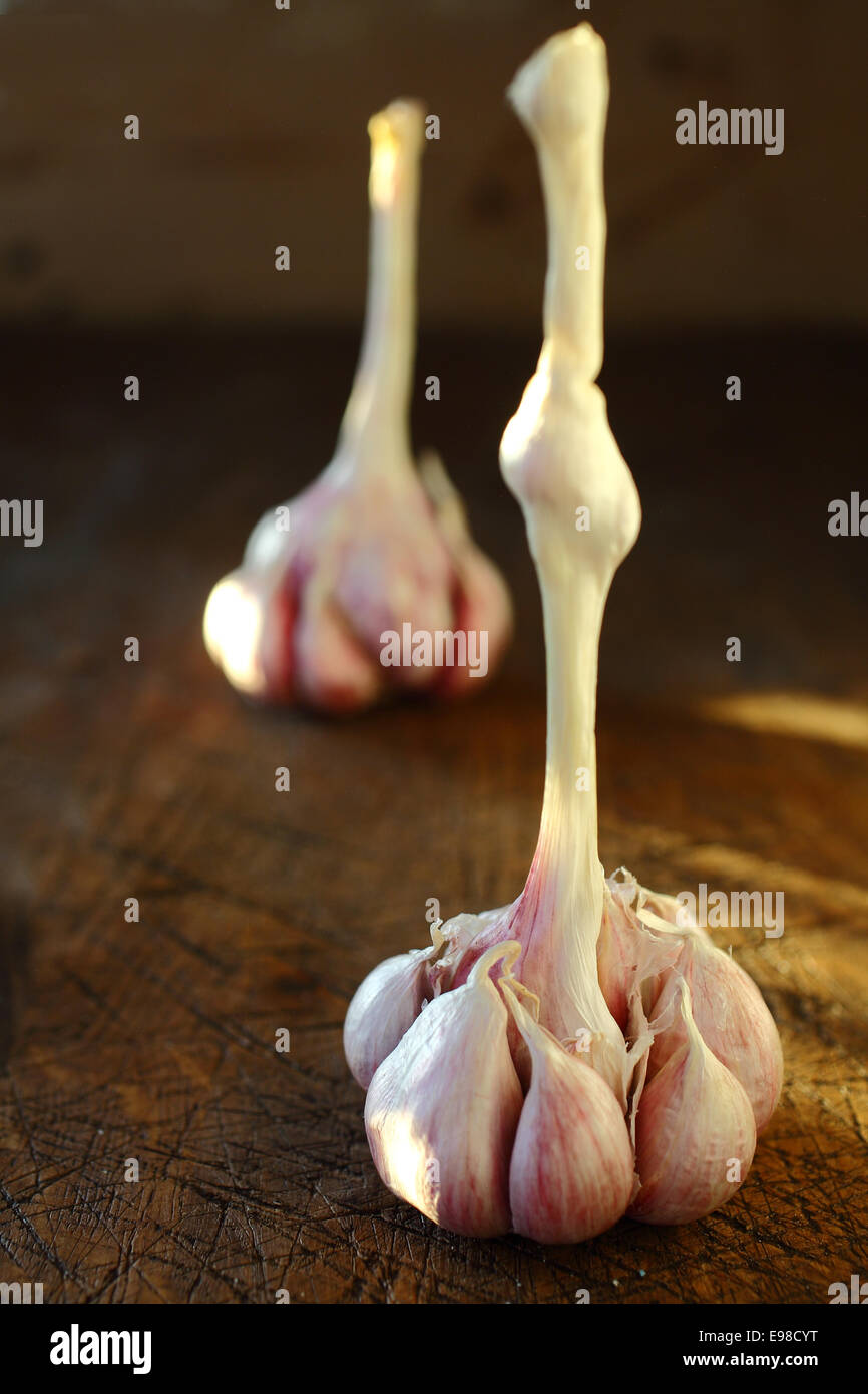 Closeup view with shallow dof of cloves of fresh healthy aromatic garlic on a bulb standing on an old wooden table - Stock Image
