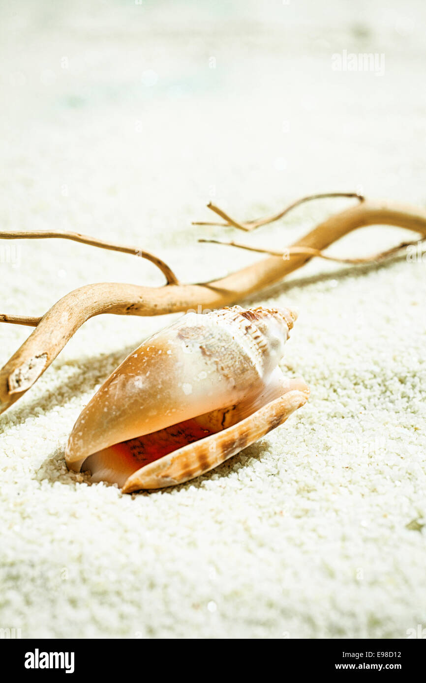 Seashell with drift wood left behind on the golden beach sand by the receding tide - Stock Image