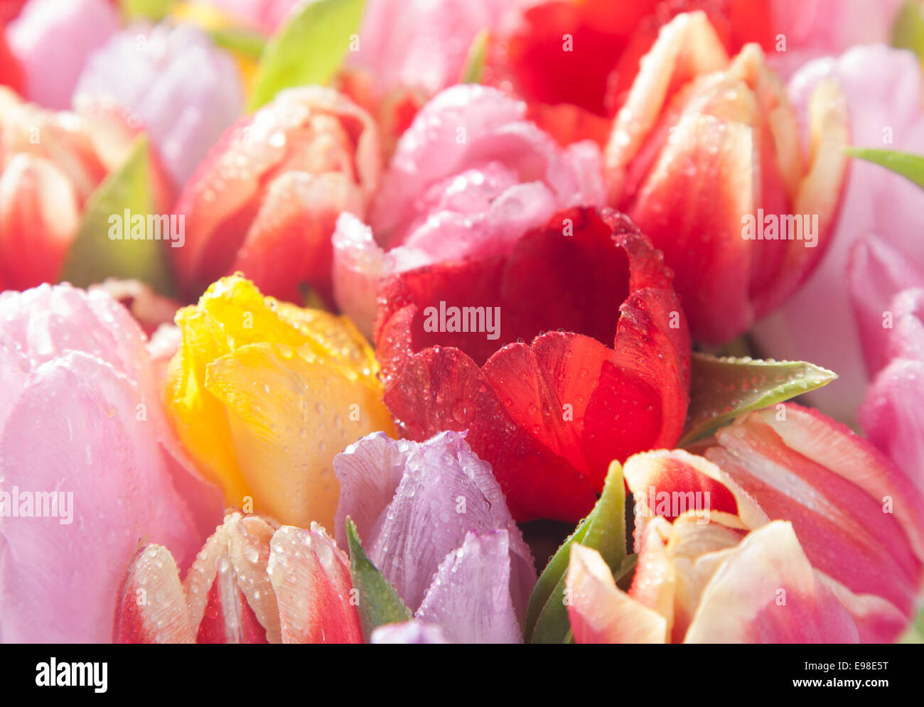 Colourful spring tulips showcasing natures beauty in a closeup seasonal background of delicate blooms - Stock Image