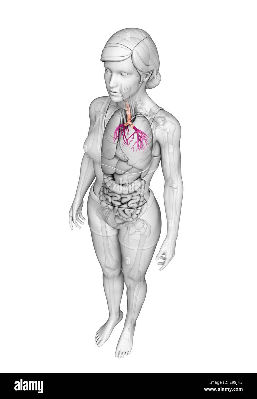 Illustration Of Female Throat Anatomy Stock Photo 74563583 Alamy