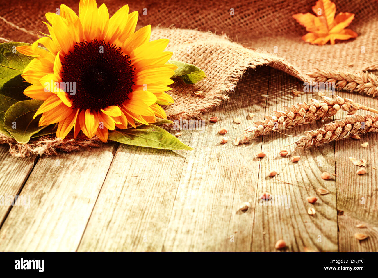 Rustic Background With A Bright Colorful Yellow Sunflower And Ripe Golden Ears Of Wheat On Textured Burlap Fabric Old Wooden