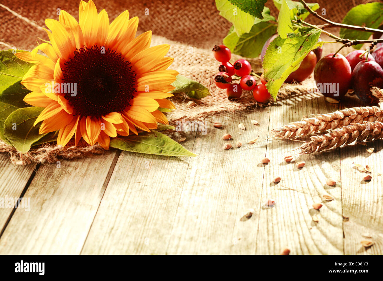 Colorful Rustic Thanksgiving Background With A Vibrant Yellow Sunflower Ears Of Ripe Wheat Rose Hips And Berries On Wooden Table Copyspace