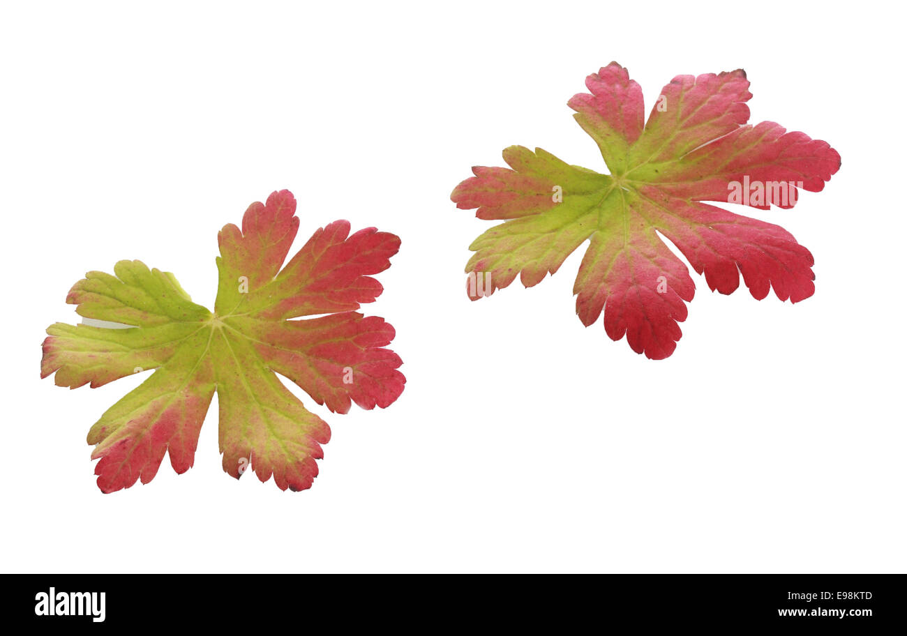 Two colorful bicolor autumn leaves showing the change from green to red with the changing weather and season isolated - Stock Image