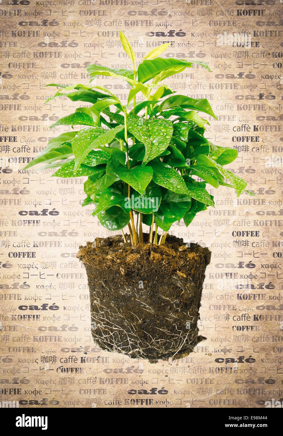 Potted plant removed from its pot and showing the root structure on aged vintage paper with the word coffee in multiple - Stock Image
