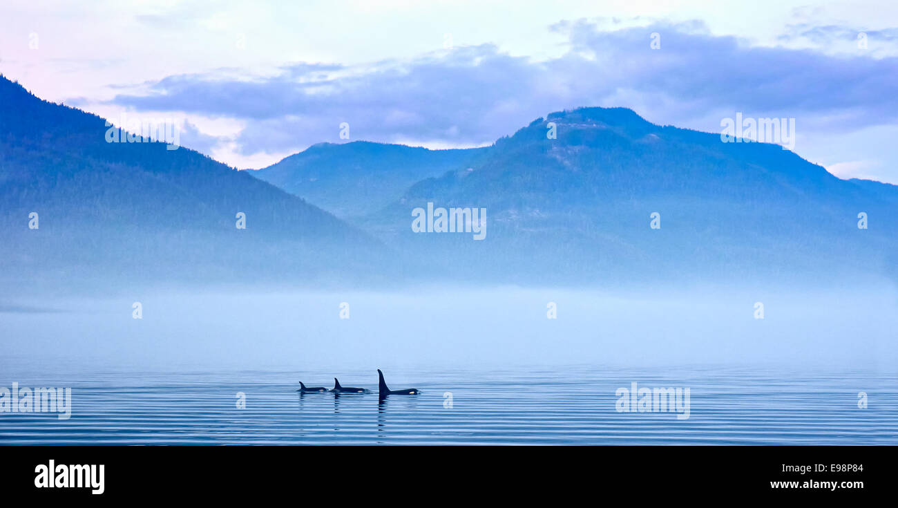 Three Killer whales in mountain landscape at Vancouver Island - Stock Image
