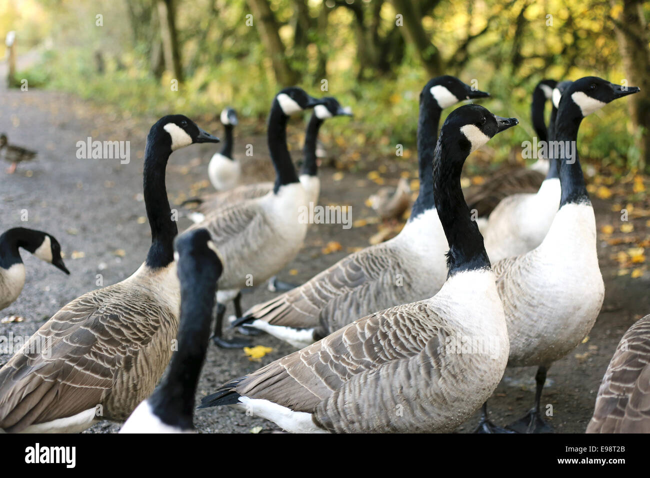 Gaggle of geese - Stock Image