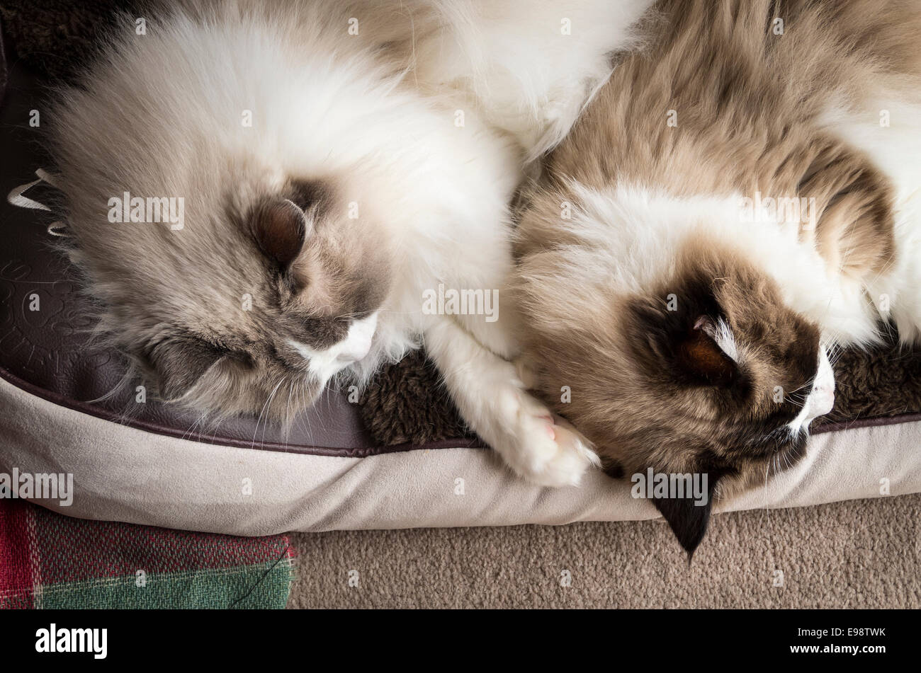 Two Ragdoll cats asleep on a pet bed - Stock Image