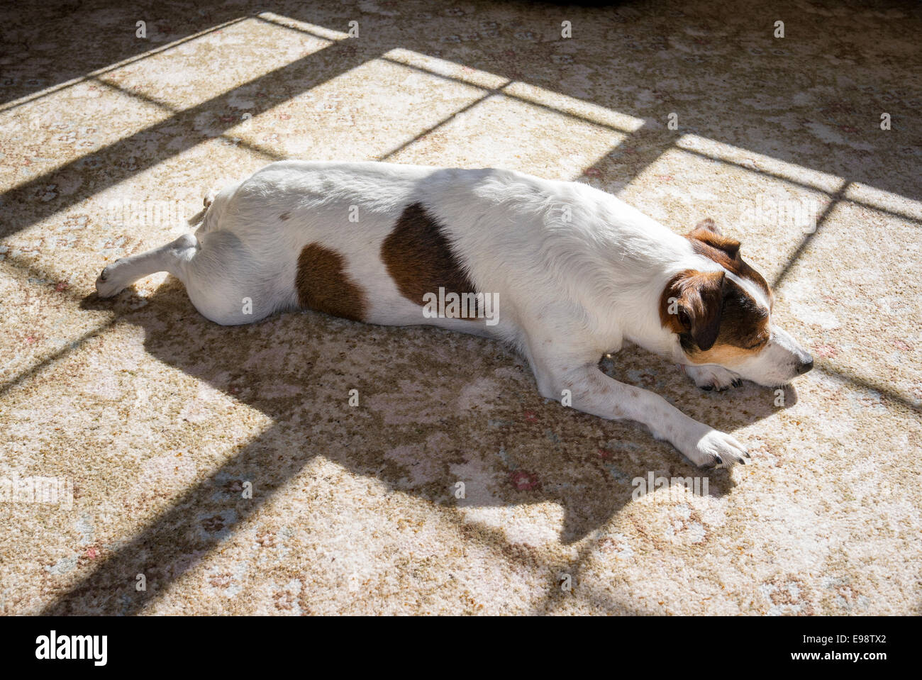 A Jack Russell dog dozing indoors in a pool of sunshine - Stock Image