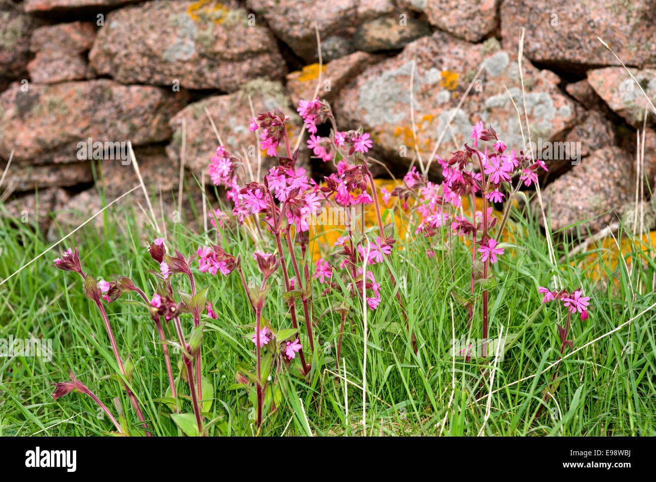 red campion flowers amongst the grass in front of a dry stone wall on the coast path from Bullers of Buchan in Aberdeenshire Stock Photo