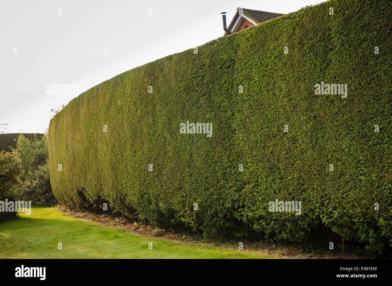 Tall evergreen conifer hedge after annual maintence obscuring unwanted view - Stock Image