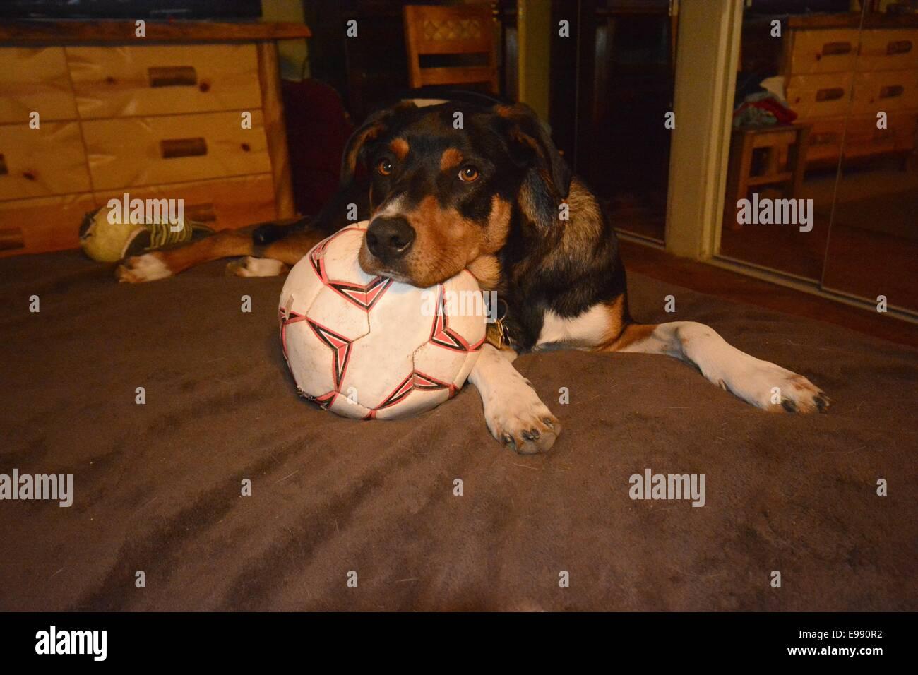 Dog dozing on his soccer ball. - Stock Image