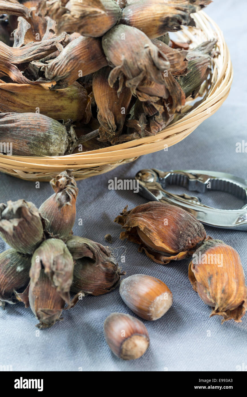 Fresh Kent Cobnuts with nut cracker - Stock Image