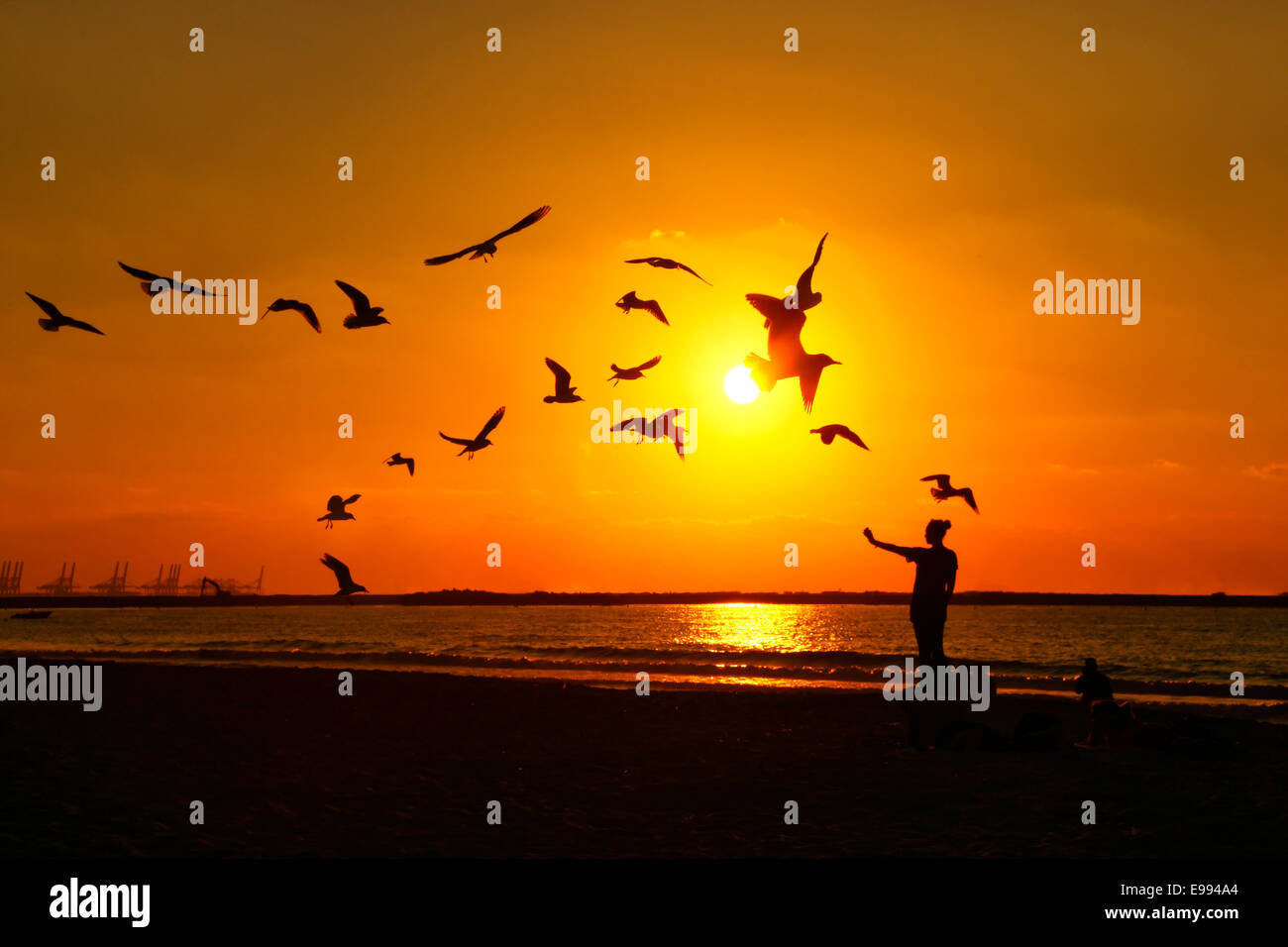 Female feeding birds at sunset on the  Jumeirah beach in Dubai - Stock Image