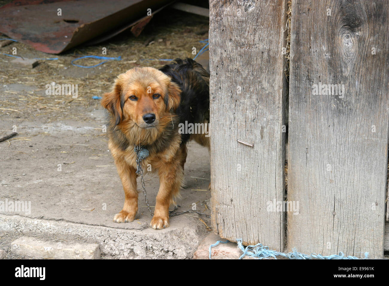 Chained small brown watchdog puppy in wooden shed - Stock Image
