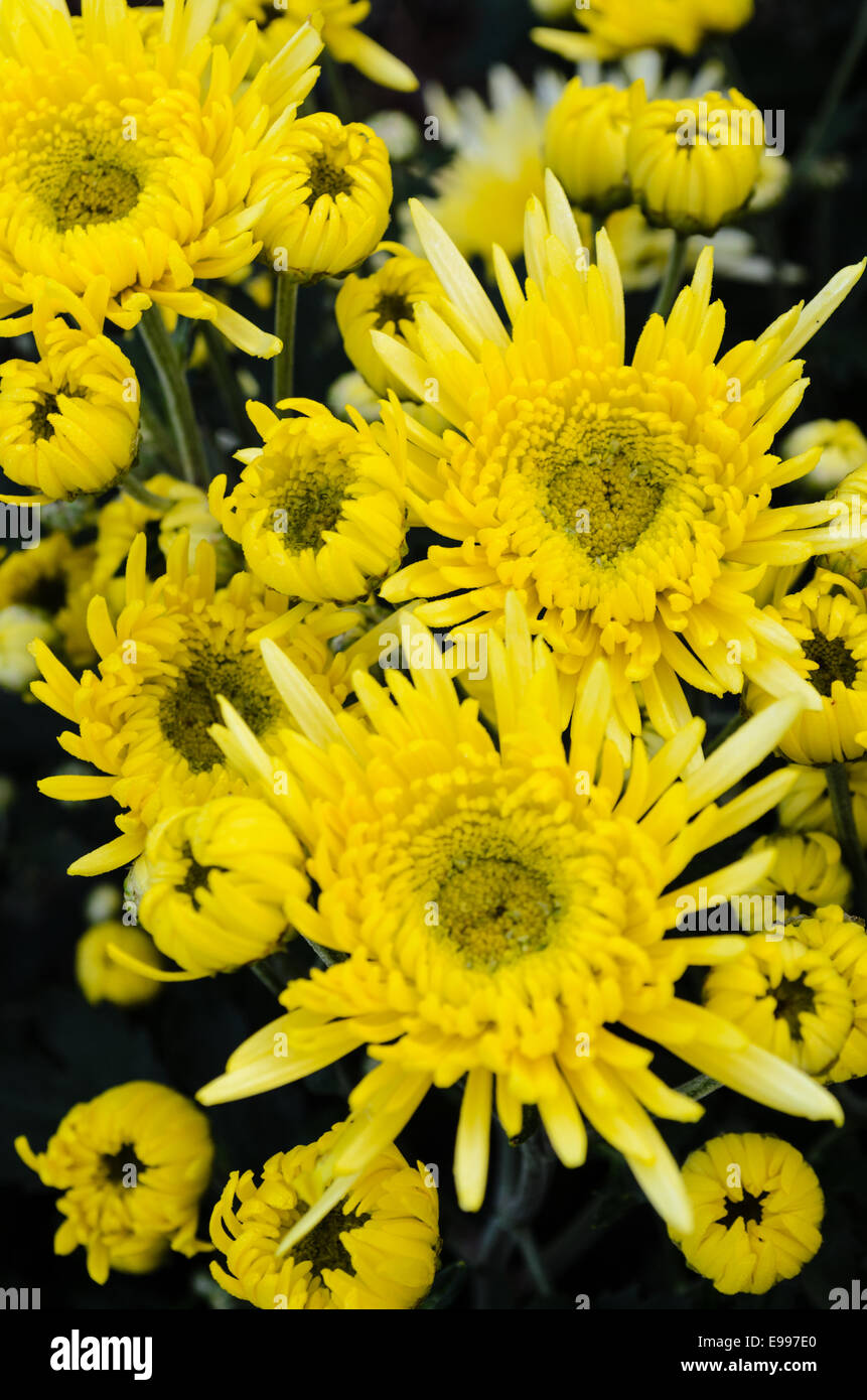 Close Up Yellow Chrysanthemum Flowers On Tree From Top View Stock