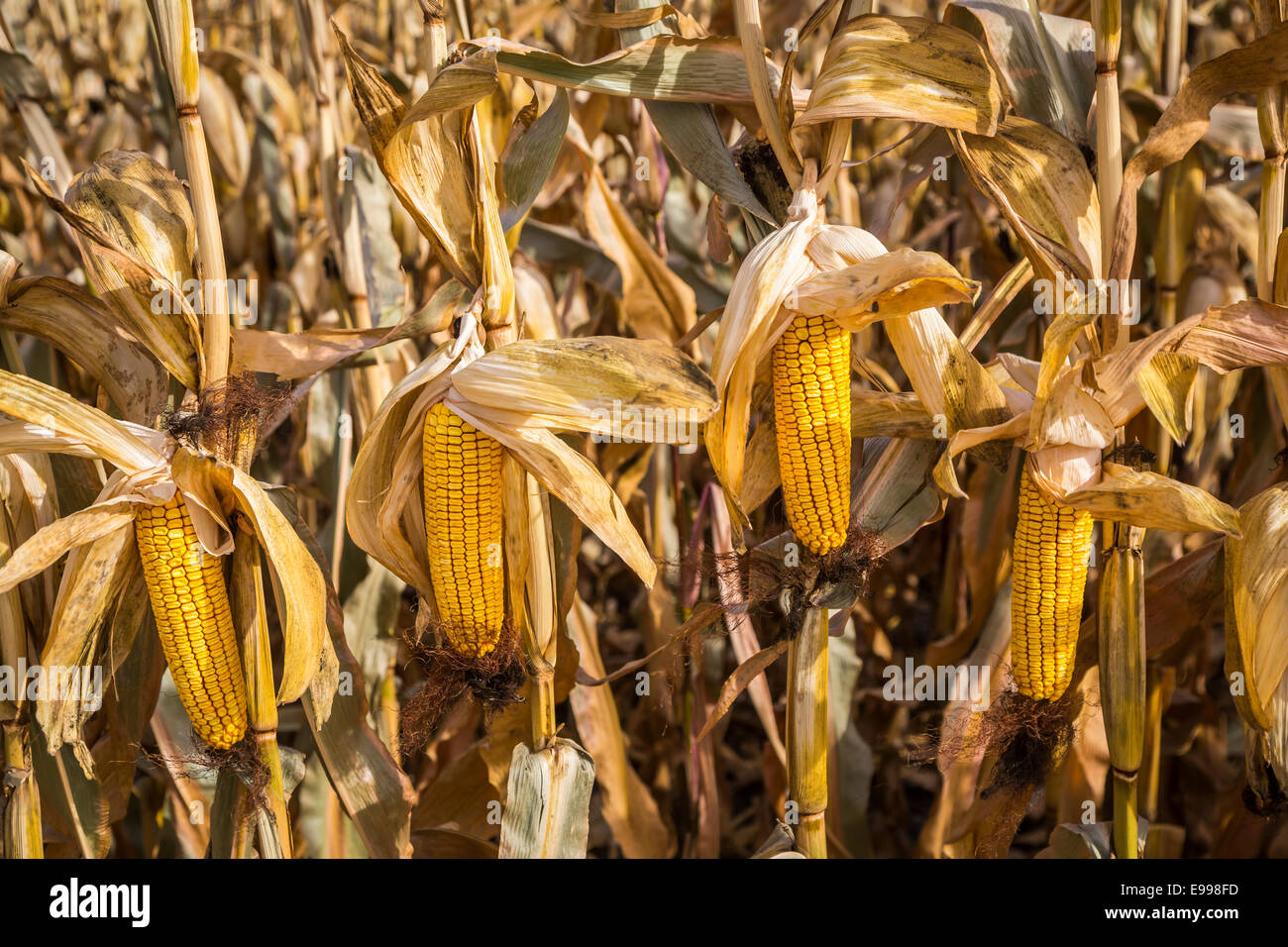 Closeup of cobs of corn at the 2014 harvest on the Froese farm near Winkler, Manitoba, Canada. - Stock Image